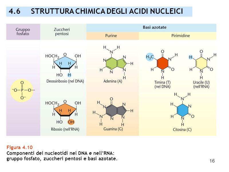 16 Figura 4.10 Componenti dei nucleotidi nel DNA e nellRNA: gruppo fosfato, zuccheri pentosi e basi azotate. 4.6 STRUTTURA CHIMICA DEGLI ACIDI NUCLEIC