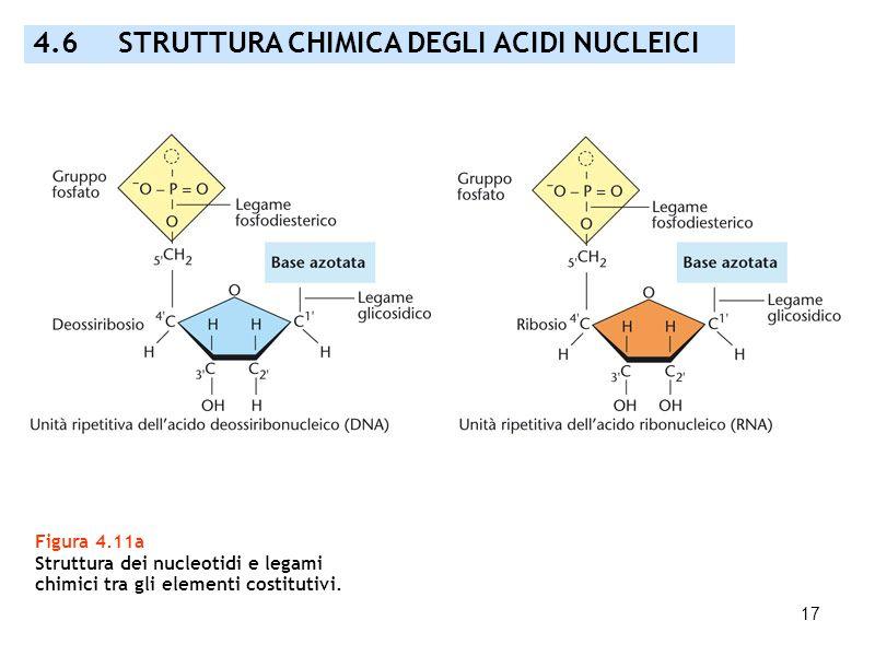 17 Figura 4.11a Struttura dei nucleotidi e legami chimici tra gli elementi costitutivi. 4.6 STRUTTURA CHIMICA DEGLI ACIDI NUCLEICI