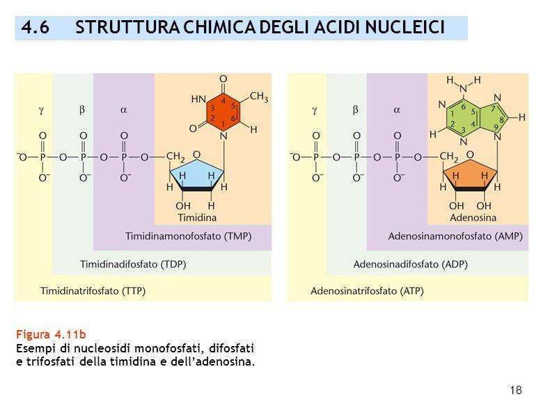 18 Figura 4.11b Esempi di nucleosidi monofosfati, difosfati e trifosfati della timidina e delladenosina. 4.6 STRUTTURA CHIMICA DEGLI ACIDI NUCLEICI