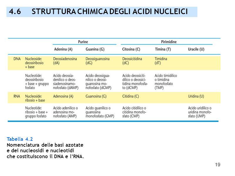 19 Tabella 4.2 Nomenclatura delle basi azotate e dei nucleosidi e nucleotidi che costituiscono il DNA e lRNA. 4.6 STRUTTURA CHIMICA DEGLI ACIDI NUCLEI