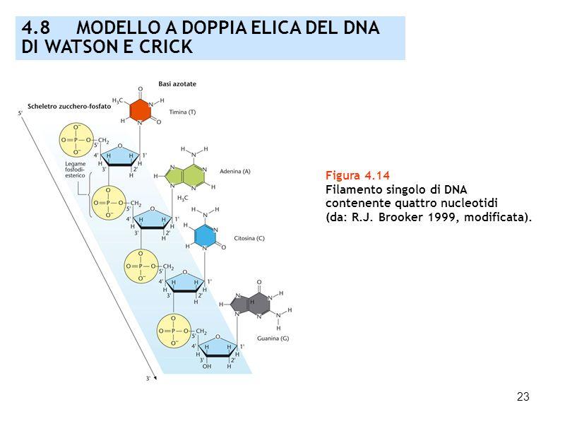 23 Figura 4.14 Filamento singolo di DNA contenente quattro nucleotidi (da: R.J. Brooker 1999, modificata). 4.8 MODELLO A DOPPIA ELICA DEL DNA DI WATSO