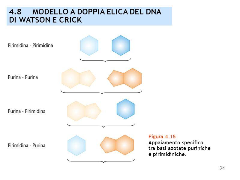 24 Figura 4.15 Appaiamento specifico tra basi azotate puriniche e pirimidiniche. 4.8 MODELLO A DOPPIA ELICA DEL DNA DI WATSON E CRICK