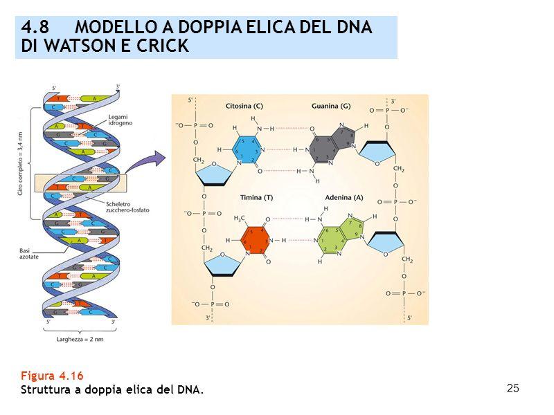 25 Figura 4.16 Struttura a doppia elica del DNA. 4.8 MODELLO A DOPPIA ELICA DEL DNA DI WATSON E CRICK