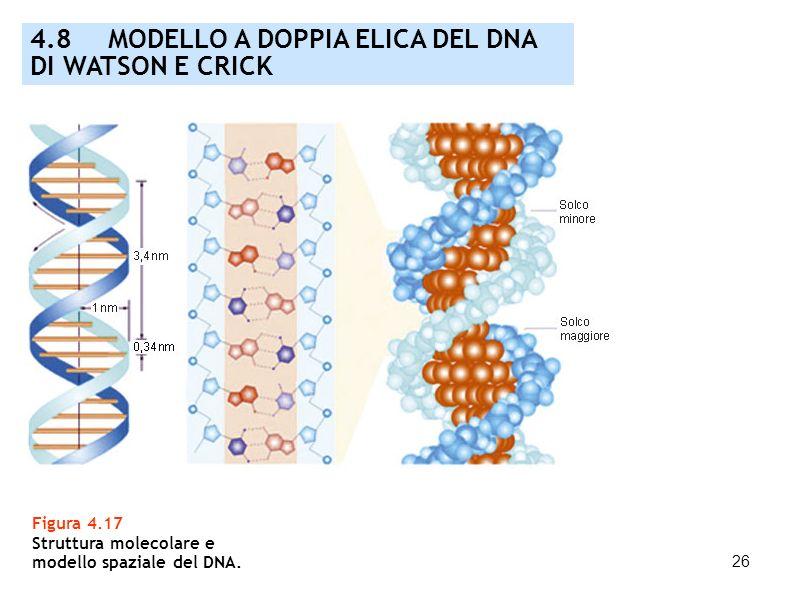26 Figura 4.17 Struttura molecolare e modello spaziale del DNA. 4.8 MODELLO A DOPPIA ELICA DEL DNA DI WATSON E CRICK