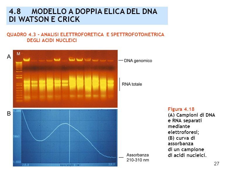 27 Figura 4.18 (A) Campioni di DNA e RNA separati mediante elettroforesi; (B) curva di assorbanza di un campione di acidi nucleici. QUADRO 4.3 – ANALI