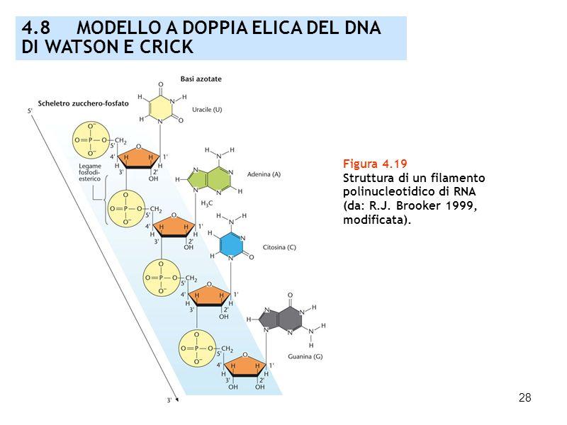 28 Figura 4.19 Struttura di un filamento polinucleotidico di RNA (da: R.J. Brooker 1999, modificata). 4.8 MODELLO A DOPPIA ELICA DEL DNA DI WATSON E C