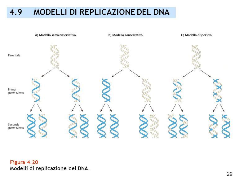 29 Figura 4.20 Modelli di replicazione del DNA. 4.9 MODELLI DI REPLICAZIONE DEL DNA