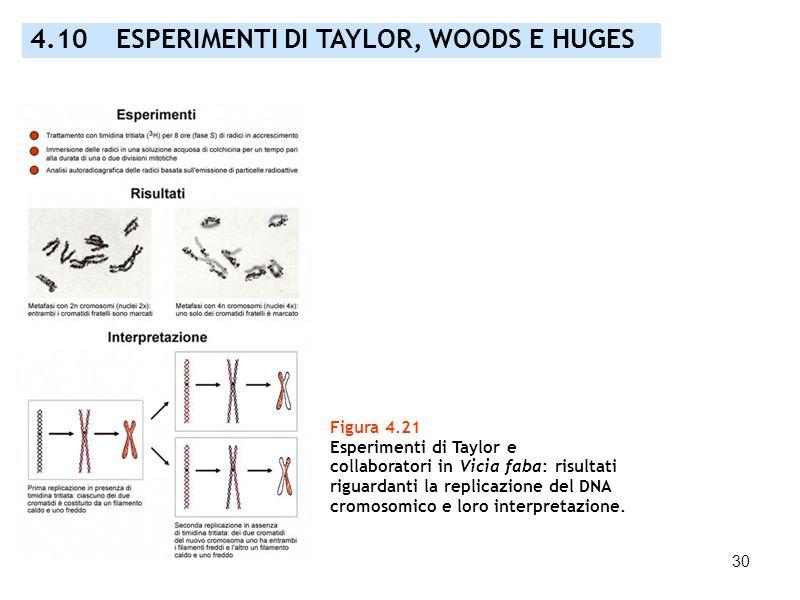 30 Figura 4.21 Esperimenti di Taylor e collaboratori in Vicia faba: risultati riguardanti la replicazione del DNA cromosomico e loro interpretazione.