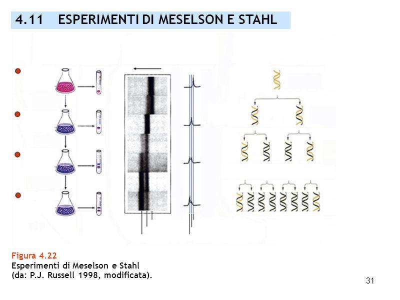 31 Figura 4.22 Esperimenti di Meselson e Stahl (da: P.J. Russell 1998, modificata). 4.11 ESPERIMENTI DI MESELSON E STAHL