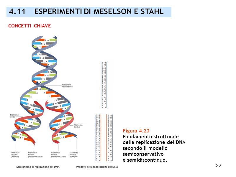 32 Figura 4.23 Fondamento strutturale della replicazione del DNA secondo il modello semiconservativo e semidiscontinuo. CONCETTI CHIAVE 4.11 ESPERIMEN