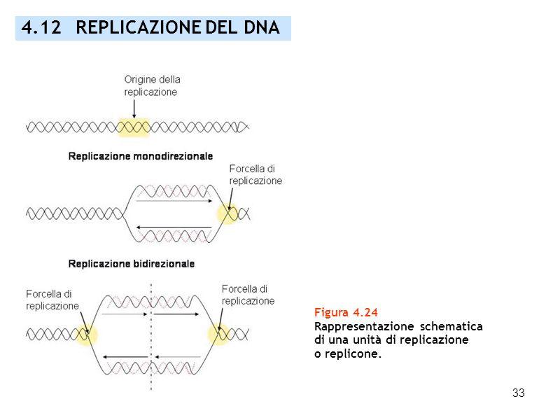 33 Figura 4.24 Rappresentazione schematica di una unità di replicazione o replicone. 4.12 REPLICAZIONE DEL DNA