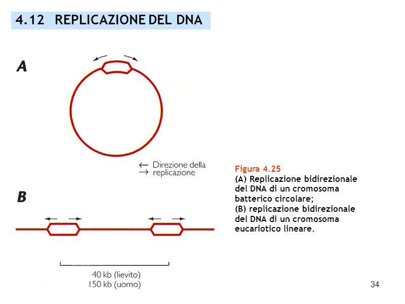 34 Figura 4.25 (A) Replicazione bidirezionale del DNA di un cromosoma batterico circolare; (B) replicazione bidirezionale del DNA di un cromosoma euca