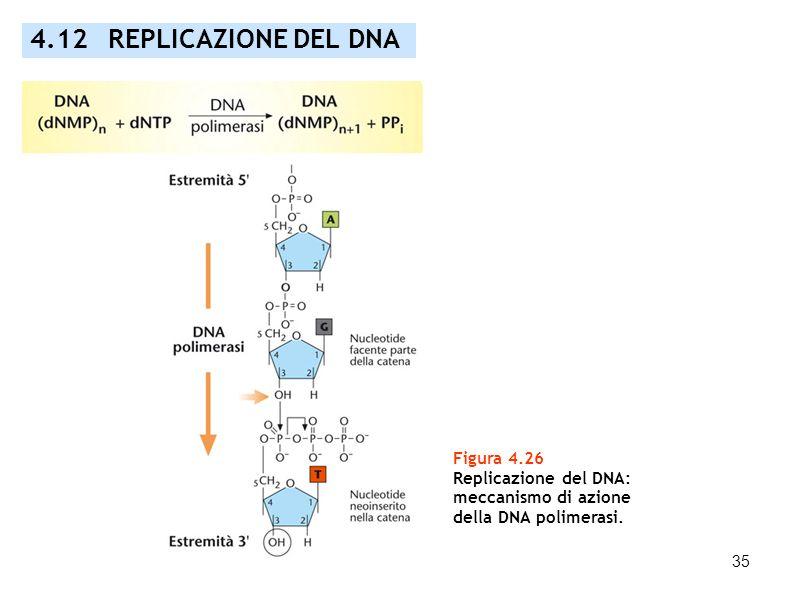 35 Figura 4.26 Replicazione del DNA: meccanismo di azione della DNA polimerasi. 4.12 REPLICAZIONE DEL DNA