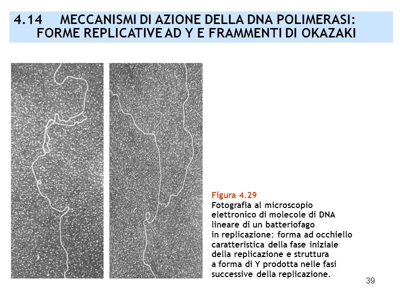 39 Figura 4.29 Fotografia al microscopio elettronico di molecole di DNA lineare di un batteriofago in replicazione: forma ad occhiello caratteristica