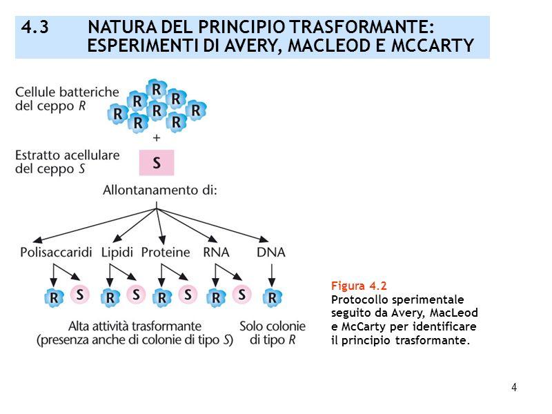 4 Figura 4.2 Protocollo sperimentale seguito da Avery, MacLeod e McCarty per identificare il principio trasformante. 4.3 NATURA DEL PRINCIPIO TRASFORM