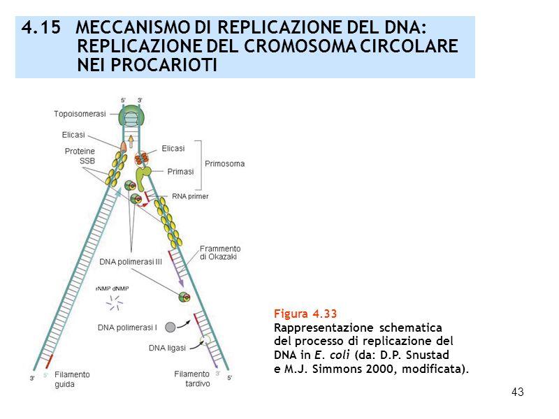 43 Figura 4.33 Rappresentazione schematica del processo di replicazione del DNA in E. coli (da: D.P. Snustad e M.J. Simmons 2000, modificata). 4.15 ME