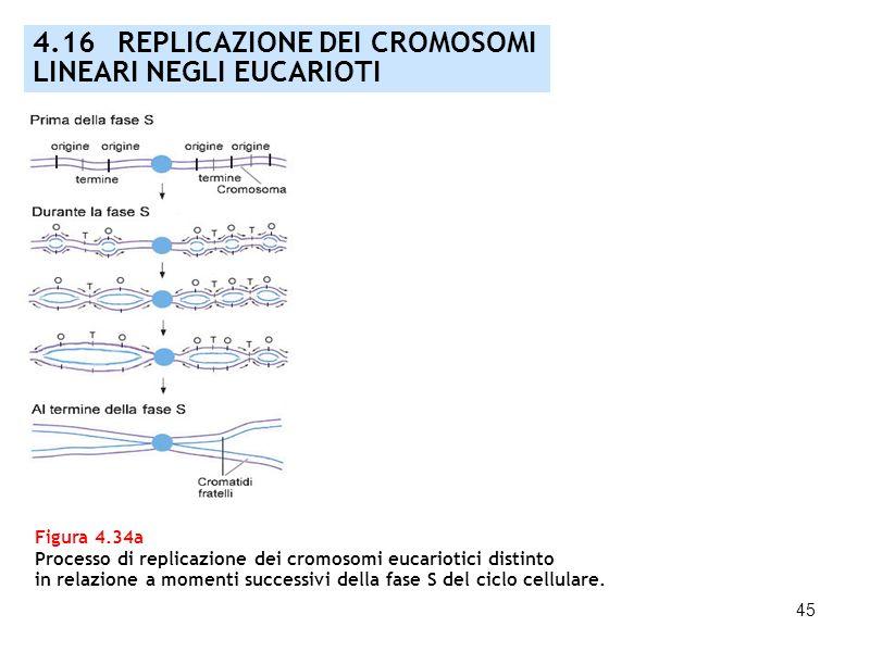 45 Figura 4.34a Processo di replicazione dei cromosomi eucariotici distinto in relazione a momenti successivi della fase S del ciclo cellulare. 4.16 R