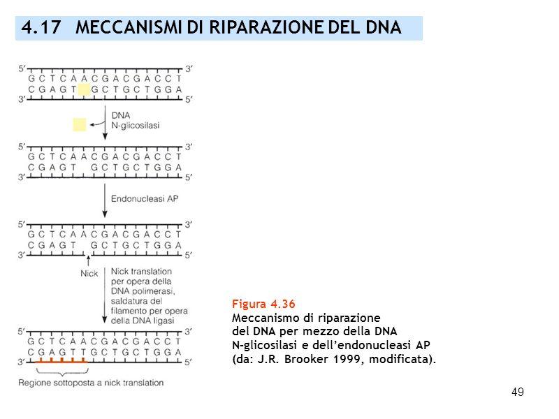 49 4.17 MECCANISMI DI RIPARAZIONE DEL DNA Figura 4.36 Meccanismo di riparazione del DNA per mezzo della DNA N–glicosilasi e dellendonucleasi AP (da: J