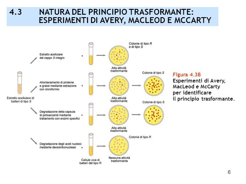 6 Figura 4.3B Esperimenti di Avery, MacLeod e McCarty per identificare il principio trasformante. 4.3 NATURA DEL PRINCIPIO TRASFORMANTE: ESPERIMENTI D