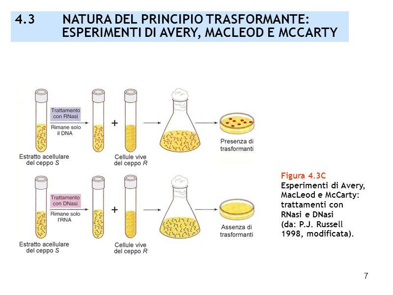 7 Figura 4.3C Esperimenti di Avery, MacLeod e McCarty: trattamenti con RNasi e DNasi (da: P.J. Russell 1998, modificata). 4.3 NATURA DEL PRINCIPIO TRA