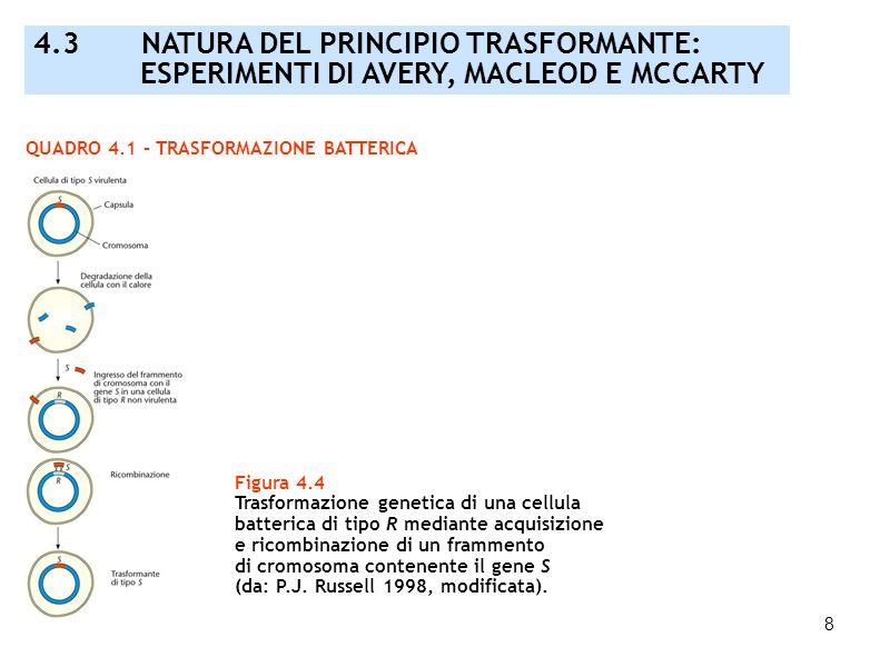 8 QUADRO 4.1 – TRASFORMAZIONE BATTERICA 4.3 NATURA DEL PRINCIPIO TRASFORMANTE: ESPERIMENTI DI AVERY, MACLEOD E MCCARTY Figura 4.4 Trasformazione genet