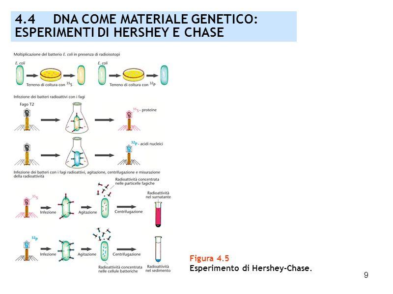 9 Figura 4.5 Esperimento di Hershey-Chase. 4.4 DNA COME MATERIALE GENETICO: ESPERIMENTI DI HERSHEY E CHASE