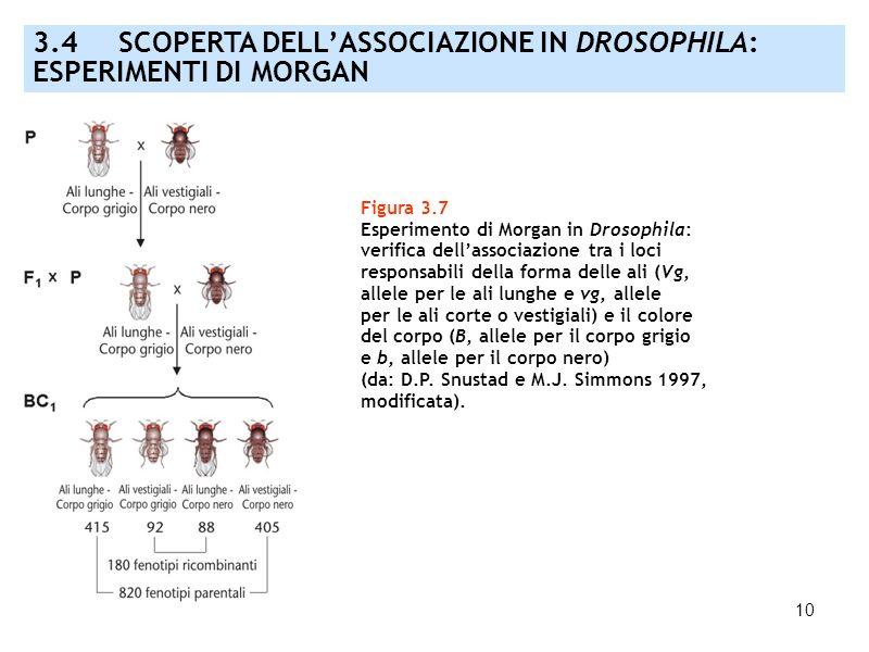 10 Figura 3.7 Esperimento di Morgan in Drosophila: verifica dellassociazione tra i loci responsabili della forma delle ali (Vg, allele per le ali lung