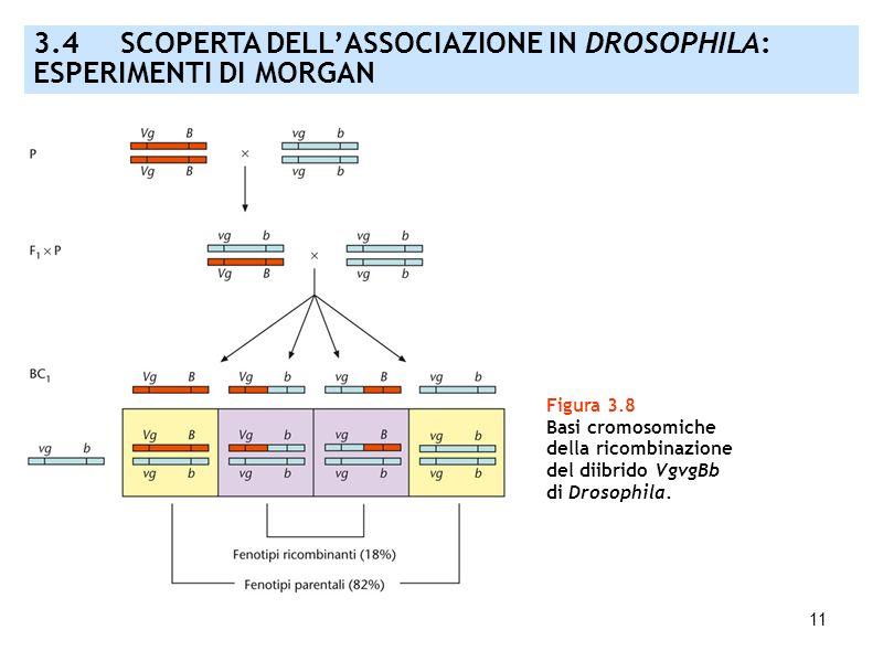 11 Figura 3.8 Basi cromosomiche della ricombinazione del diibrido VgvgBb di Drosophila. 3.4 SCOPERTA DELLASSOCIAZIONE IN DROSOPHILA: ESPERIMENTI DI MO