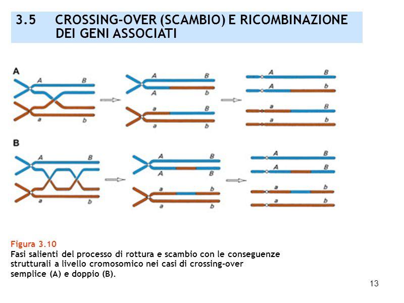 13 Figura 3.10 Fasi salienti del processo di rottura e scambio con le conseguenze strutturali a livello cromosomico nei casi di crossing-over semplice