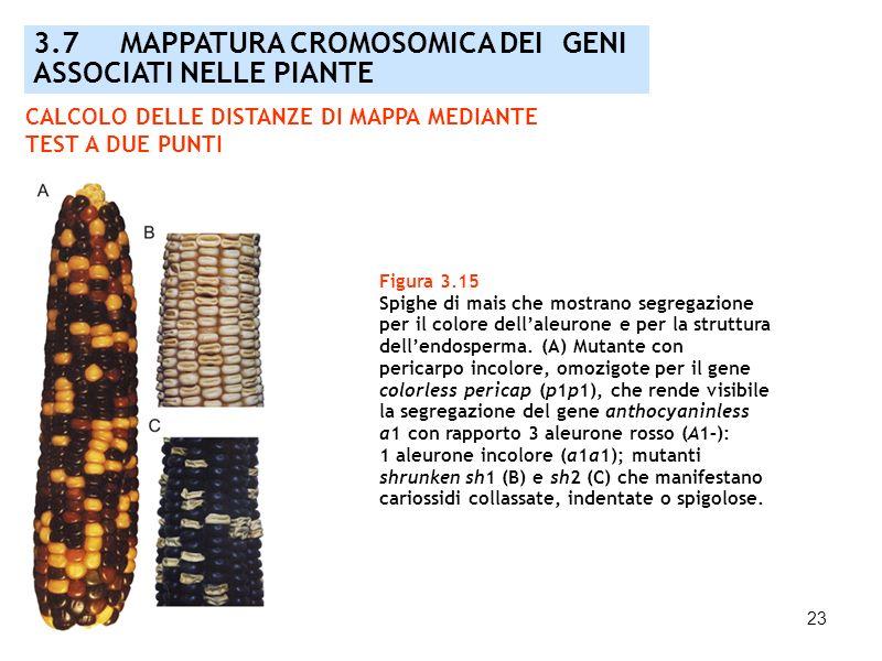 23 3.7 MAPPATURA CROMOSOMICA DEI GENI ASSOCIATI NELLE PIANTE Figura 3.15 Spighe di mais che mostrano segregazione per il colore dellaleurone e per la