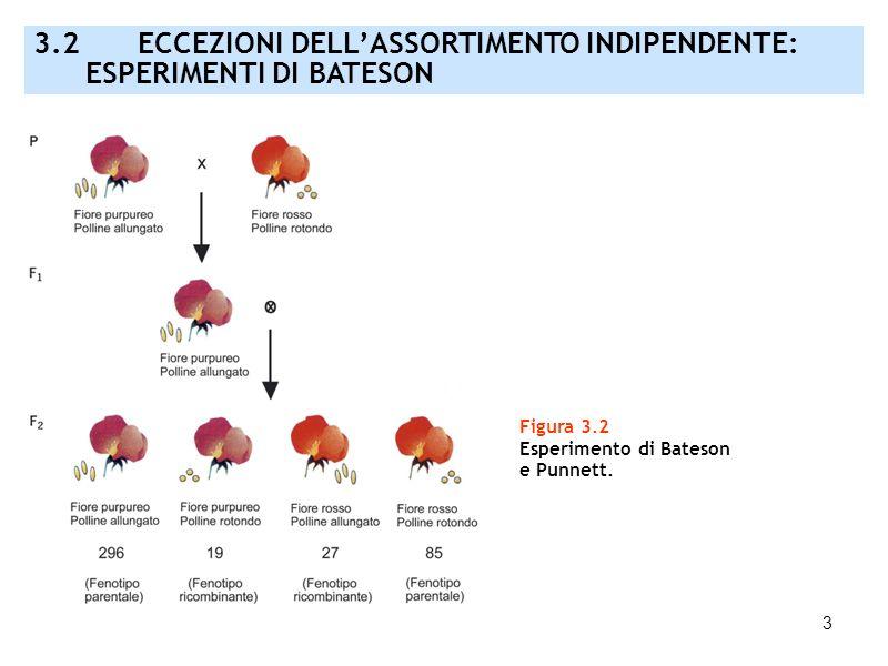 3 Figura 3.2 Esperimento di Bateson e Punnett. 3.2 ECCEZIONI DELLASSORTIMENTO INDIPENDENTE: ESPERIMENTI DI BATESON