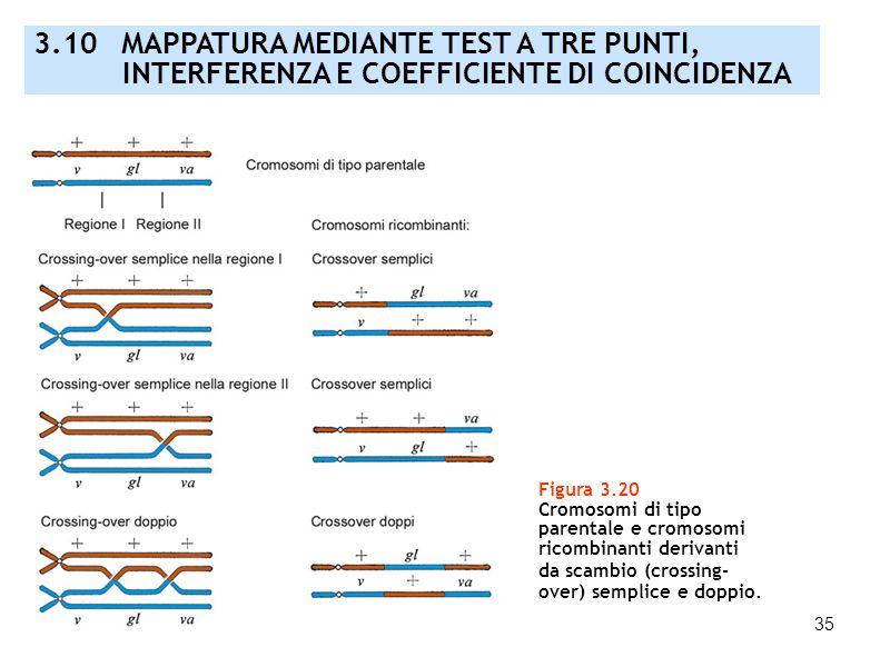 35 Figura 3.20 Cromosomi di tipo parentale e cromosomi ricombinanti derivanti da scambio (crossing- over) semplice e doppio. 3.10 MAPPATURA MEDIANTE T