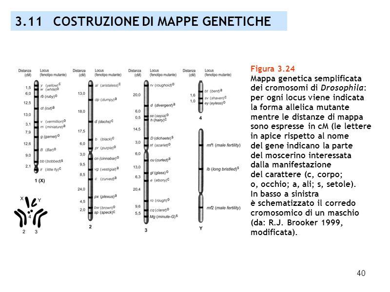 40 Figura 3.24 Mappa genetica semplificata dei cromosomi di Drosophila: per ogni locus viene indicata la forma allelica mutante mentre le distanze di