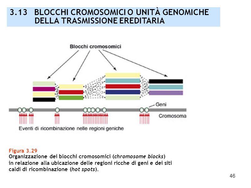 46 3.13 BLOCCHI CROMOSOMICI O UNITÀ GENOMICHE DELLA TRASMISSIONE EREDITARIA Figura 3.29 Organizzazione dei blocchi cromosomici (chromosome blocks) in
