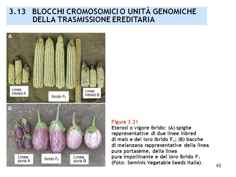 48 Figura 3.31 Eterosi o vigore ibrido: (A) spighe rappresentative di due linee inbred di mais e del loro ibrido F 1 ; (B) bacche di melanzana rappres