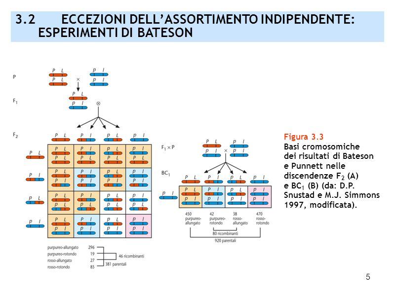 5 Figura 3.3 Basi cromosomiche dei risultati di Bateson e Punnett nelle discendenze F 2 (A) e BC 1 (B) (da: D.P. Snustad e M.J. Simmons 1997, modifica