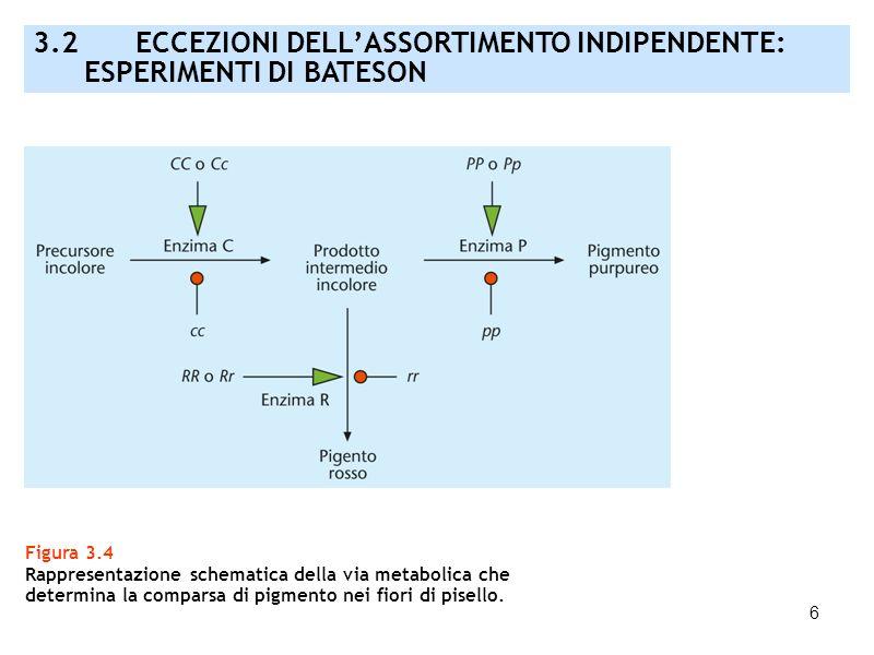 17 Figura 3.13B Esperimento di Stern in Drosophila: (A) incrocio tra una femmina con alterazioni del cromosoma X e un maschio con cromosoma X normale; (B) conseguenze del crossing-over; (C) morfologia dei cromosomi degli individui portanti cromosomi X ricombinanti.