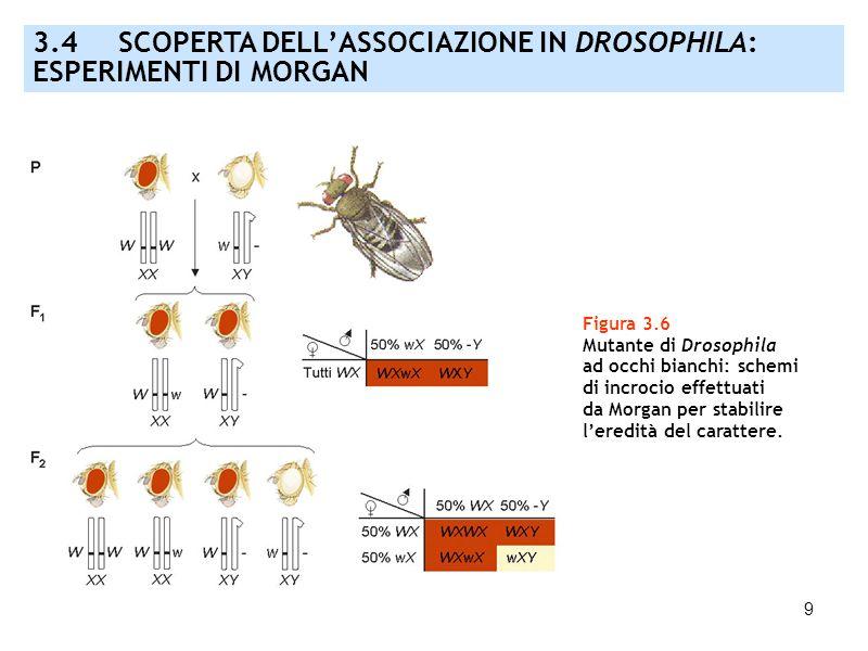 9 Figura 3.6 Mutante di Drosophila ad occhi bianchi: schemi di incrocio effettuati da Morgan per stabilire leredità del carattere. 3.4 SCOPERTA DELLAS