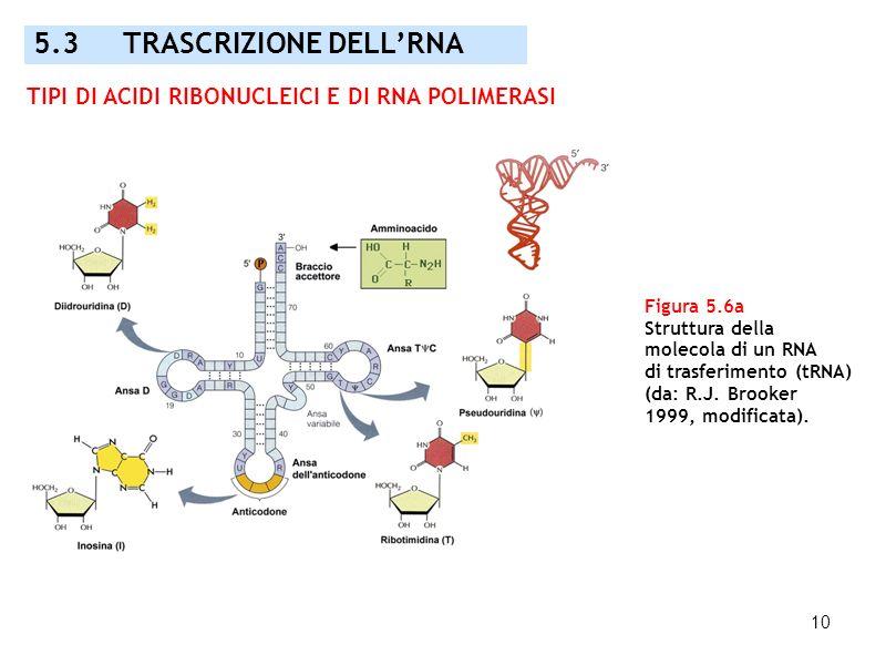 10 Figura 5.6a Struttura della molecola di un RNA di trasferimento (tRNA) (da: R.J. Brooker 1999, modificata). 5.3 TRASCRIZIONE DELLRNA TIPI DI ACIDI