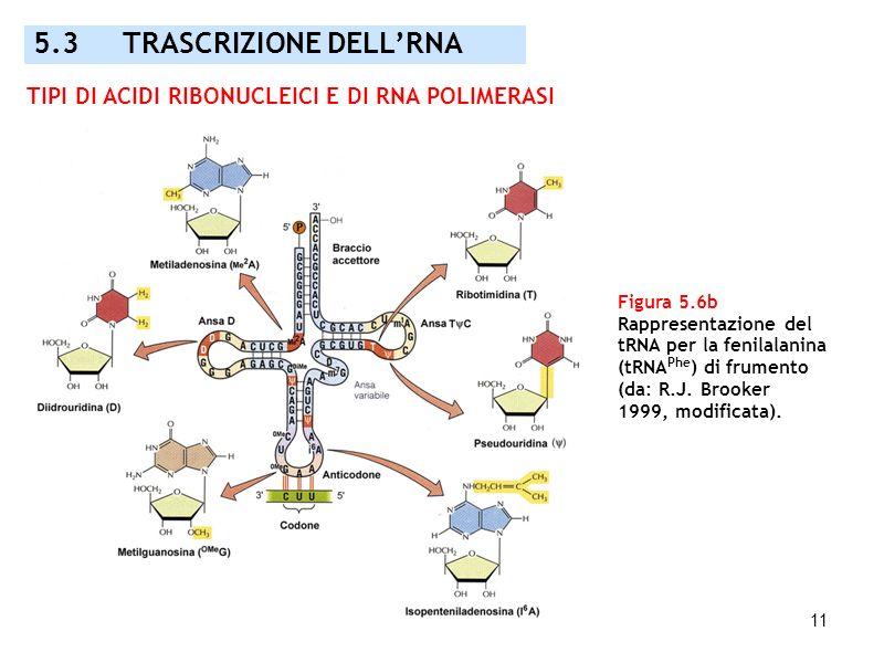 11 Figura 5.6b Rappresentazione del tRNA per la fenilalanina (tRNA Phe ) di frumento (da: R.J. Brooker 1999, modificata). 5.3 TRASCRIZIONE DELLRNA TIP