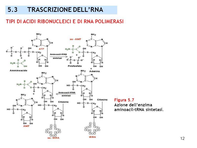 12 Figura 5.7 Azione dellenzima aminoacil-tRNA sintetasi. 5.3 TRASCRIZIONE DELLRNA TIPI DI ACIDI RIBONUCLEICI E DI RNA POLIMERASI