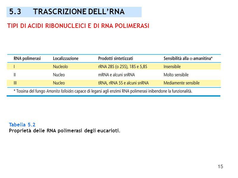 15 Tabella 5.2 Proprietà delle RNA polimerasi degli eucarioti. 5.3 TRASCRIZIONE DELLRNA TIPI DI ACIDI RIBONUCLEICI E DI RNA POLIMERASI