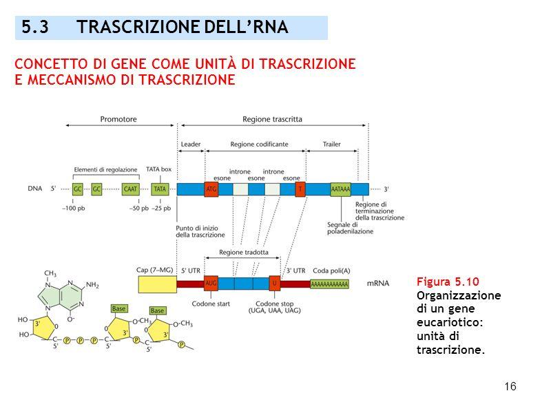 16 Figura 5.10 Organizzazione di un gene eucariotico: unità di trascrizione. 5.3 TRASCRIZIONE DELLRNA CONCETTO DI GENE COME UNITÀ DI TRASCRIZIONE E ME