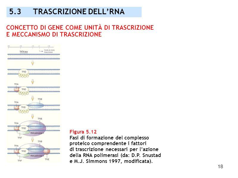 18 Figura 5.12 Fasi di formazione del complesso proteico comprendente i fattori di trascrizione necessari per lazione della RNA polimerasi (da: D.P. S