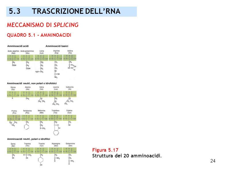 24 Figura 5.17 Struttura dei 20 amminoacidi. MECCANISMO DI SPLICING QUADRO 5.1 – AMMINOACIDI 5.3 TRASCRIZIONE DELLRNA