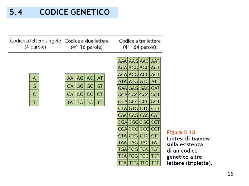 25 Figura 5.18 Ipotesi di Gamow sulla esistenza di un codice genetico a tre lettere (triplette). 5.4 CODICE GENETICO