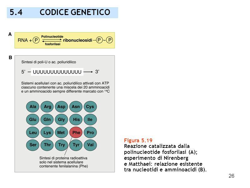 26 5.4 CODICE GENETICO Figura 5.19 Reazione catalizzata dalla polinucleotide fosforilasi (A); esperimento di Nirenberg e Matthaei: relazione esistente