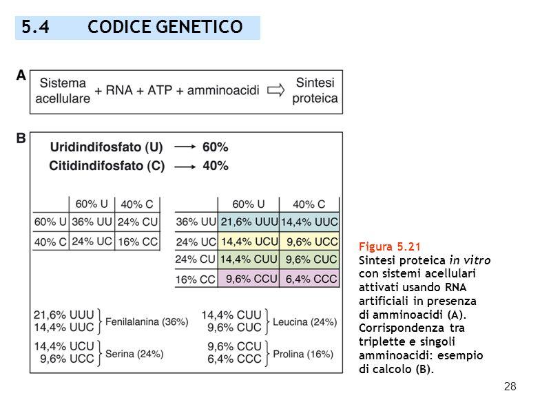 28 Figura 5.21 Sintesi proteica in vitro con sistemi acellulari attivati usando RNA artificiali in presenza di amminoacidi (A). Corrispondenza tra tri