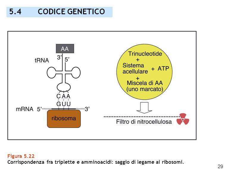 29 Figura 5.22 Corrispondenza fra triplette e amminoacidi: saggio di legame ai ribosomi. 5.4 CODICE GENETICO