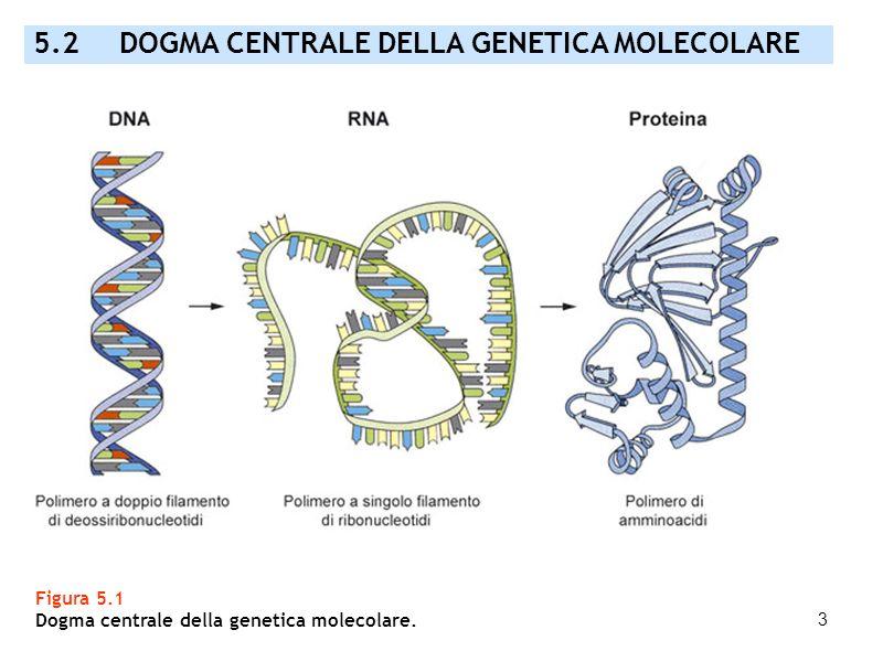 3 5.2 DOGMA CENTRALE DELLA GENETICA MOLECOLARE Figura 5.1 Dogma centrale della genetica molecolare.